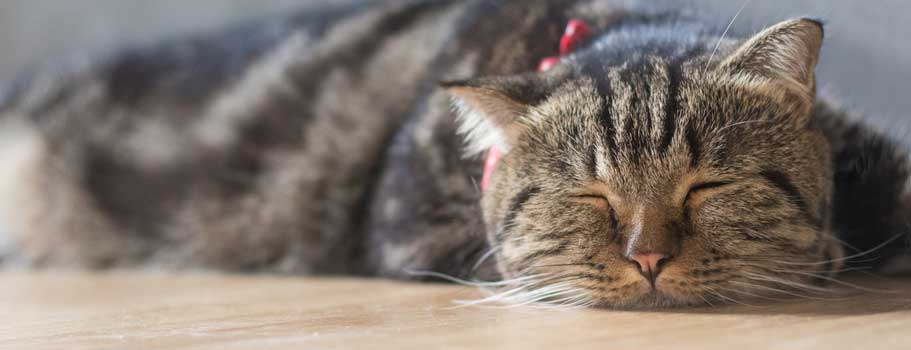 How to Deal With Heartworms in Cats